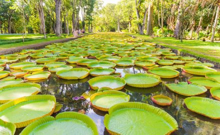 giant water lilies found at Pamplemousses Botanical Garden Mauritius